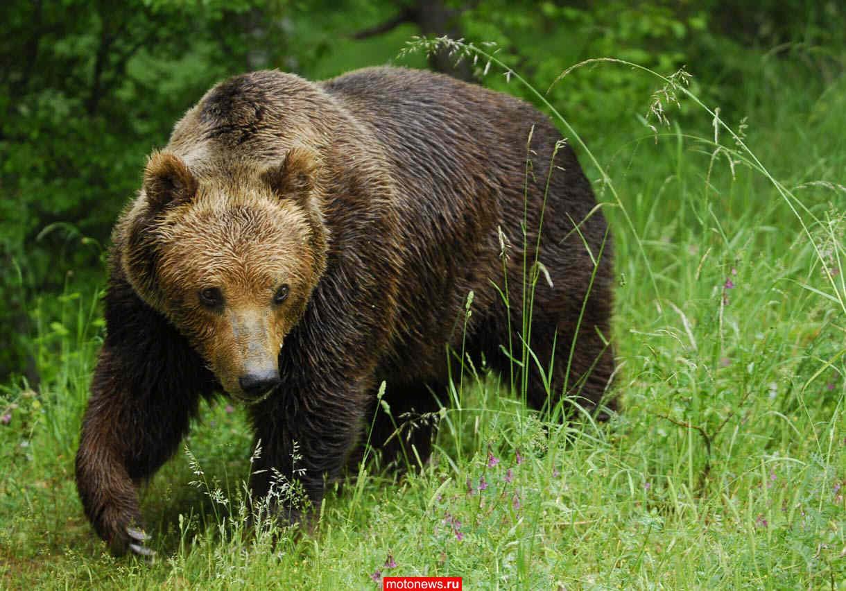 Пожилой мотоциклист из Канады повстречался с медведем.  Итог встречи - два месяца, проведенные в больнице.